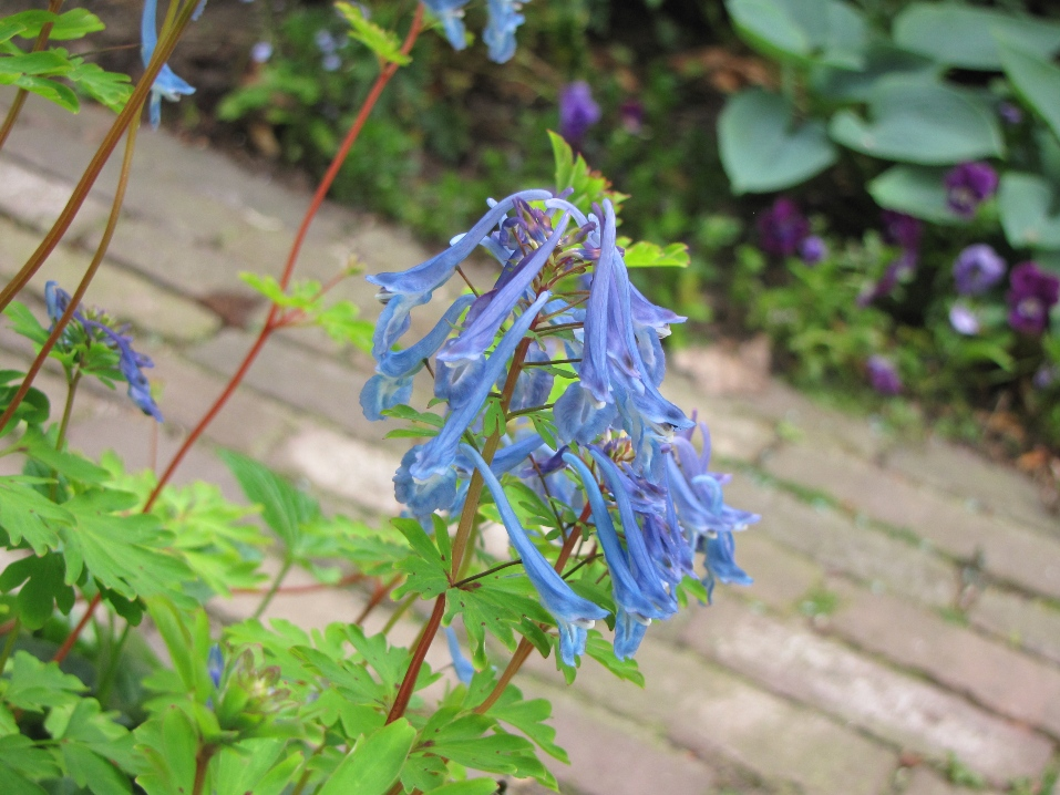 Corydalis Flexuosa - een voorjaarbloeier die makkelijk verwildert