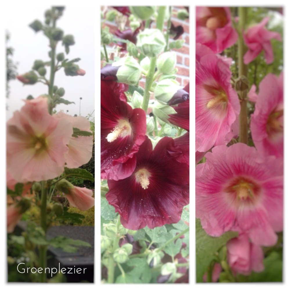 stokrozen-alcea-various-colors-pink-dark-red-apricot