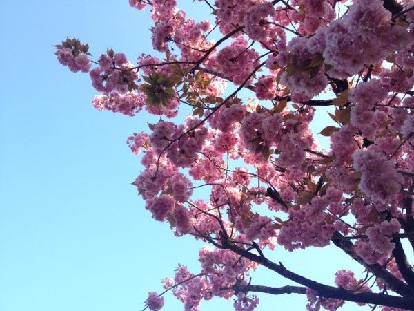 Volle Kersenbloesemtakken onder een blauwe voorjaarslucht.