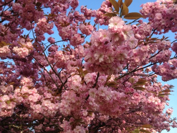 Takken vol roze Kersenbloesem