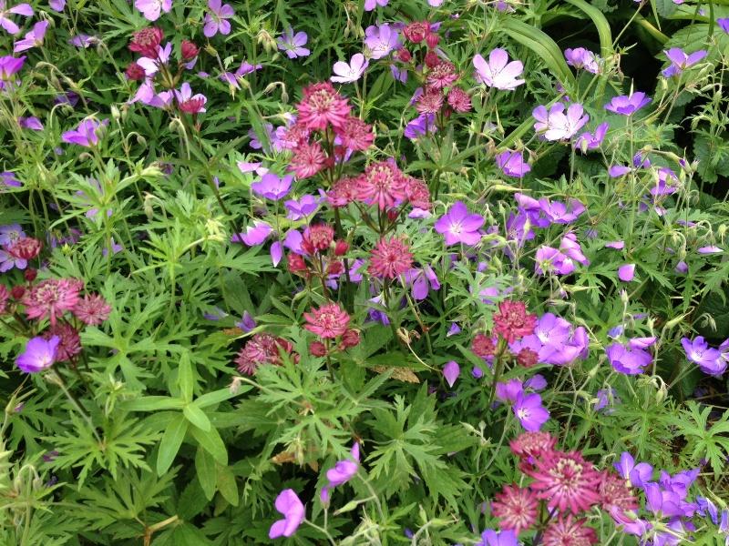 In de kasteeltuin van Hemmen: Astrantia met paarse Geranium