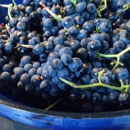 blauwe druif Leon Millot