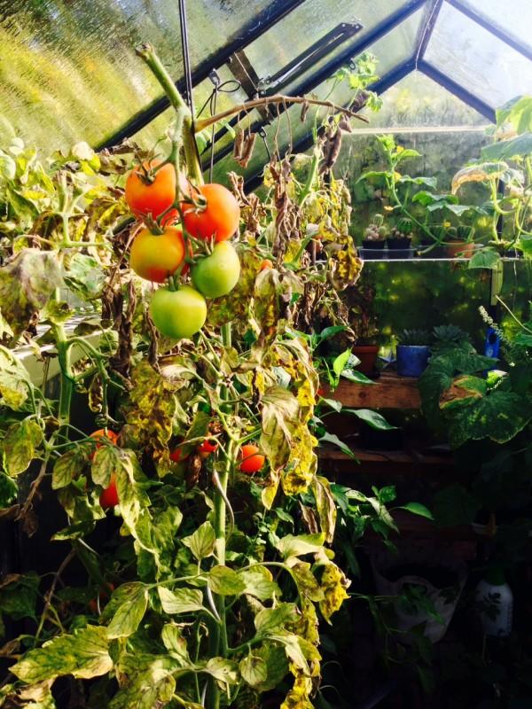 Vergane glorie in de tuinkas, deze tomaten moeten nu geoogst worden