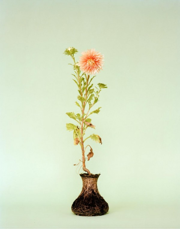 bloem zonder vaas met wortelkluit