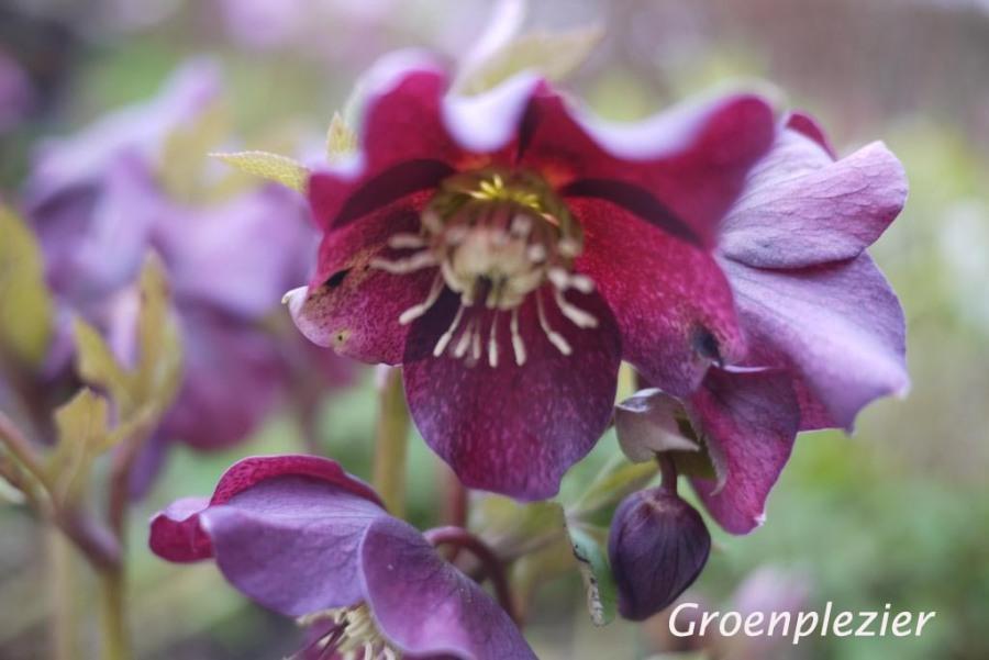 Helleborus dark flower