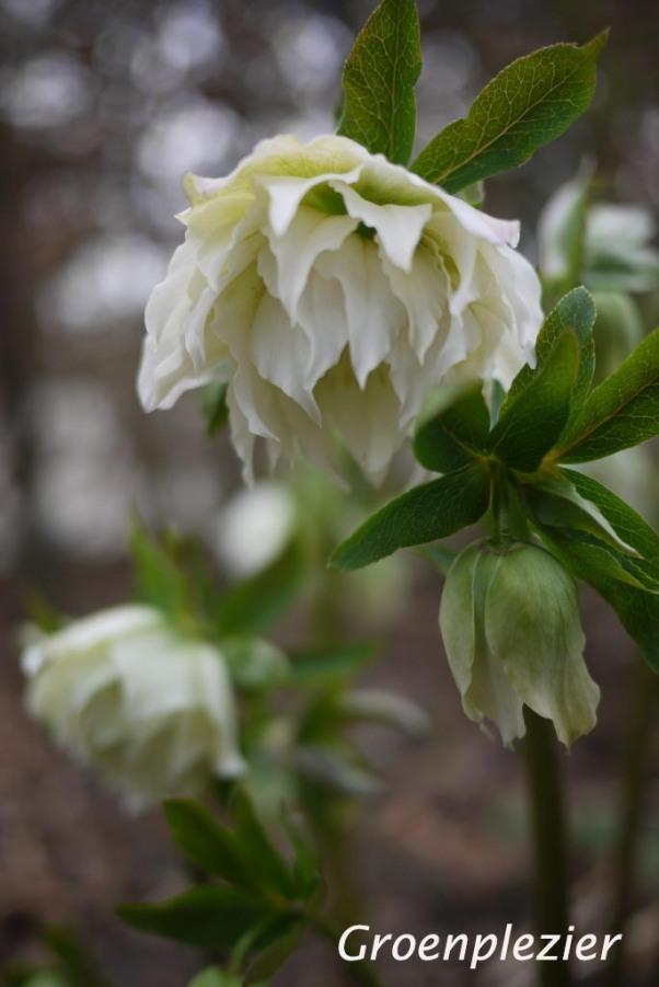Flower white Helleborus