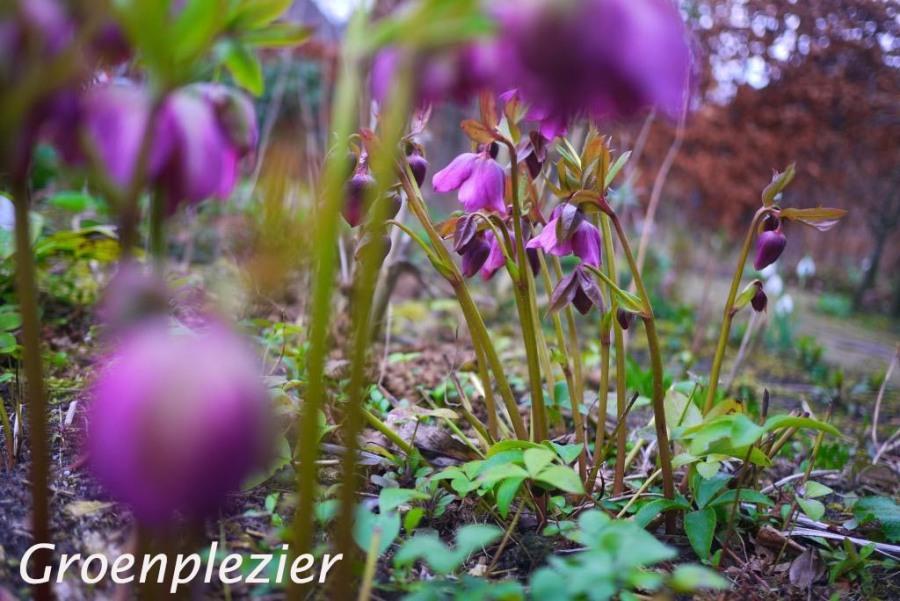 Helleborus in de tuin