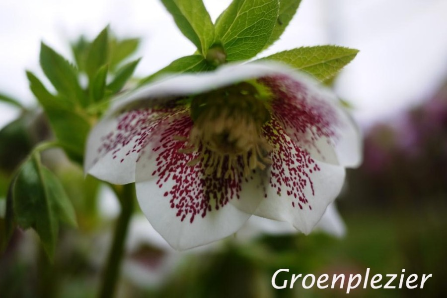 Helleborus flower white with red spots