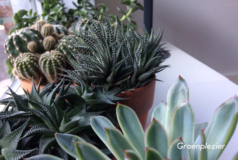 cactus_vensterbank_vetplanten_groentrend_2018_in_huis_gp