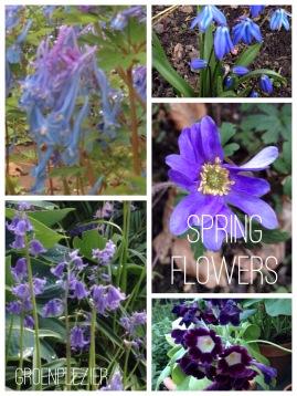 Paarse voorjaarsbloeiers