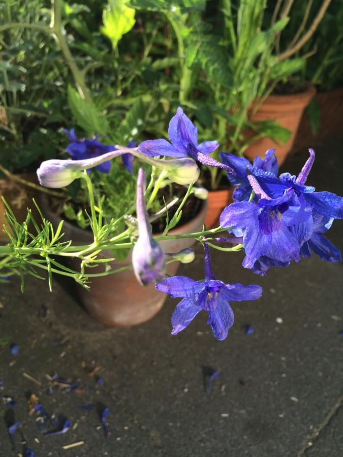 delphinium purple color