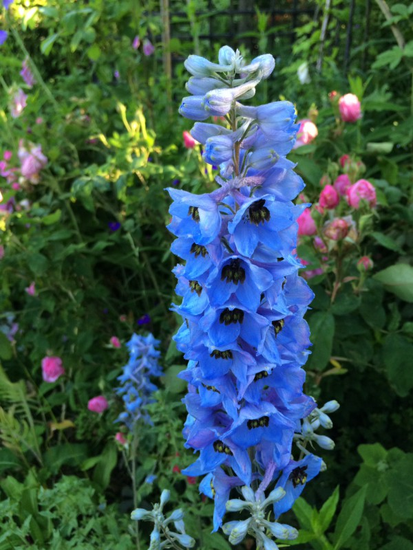 Ridderspoor_ delphinium_magnificent_blue_color