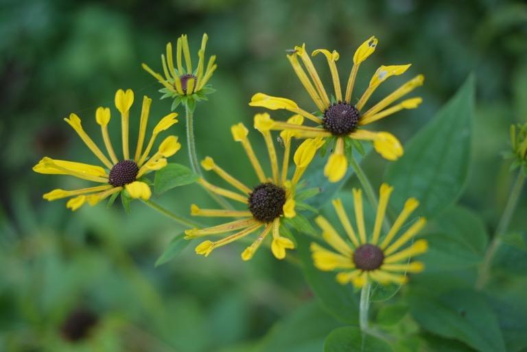 Henry_Eilers_Rudbeckia_yellow_flower_perennial