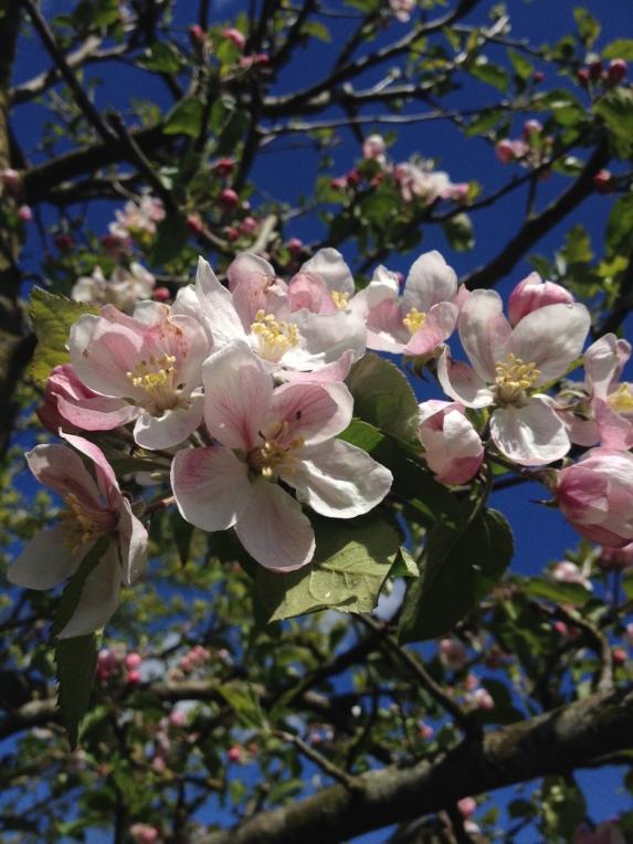 apple blossom Jonagold