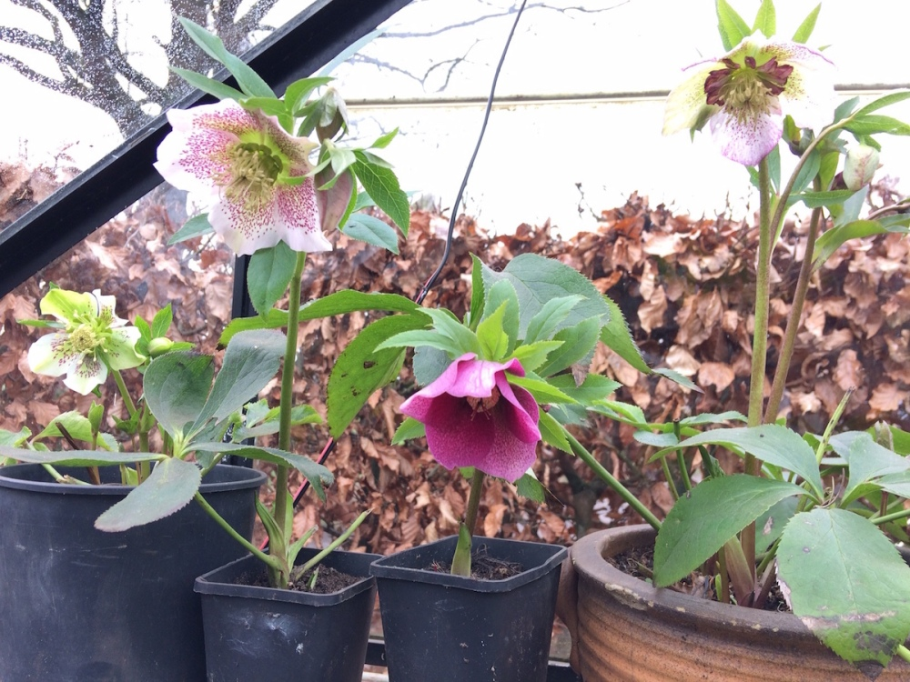 helleborus_hellebore_from_seed_grow_your_own_gardening_orientalis