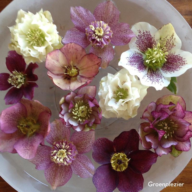 hellebolus mooie bloemen voorjaar
