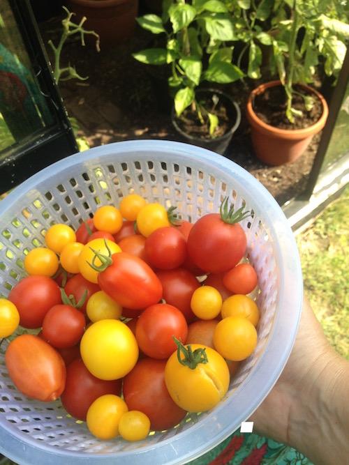 tomaten_cherry_geel_rood_pommedori_kas