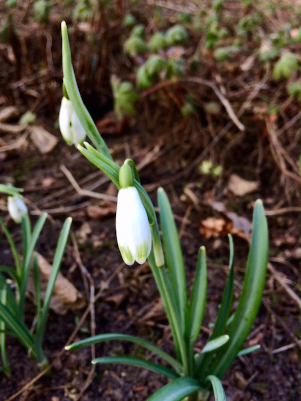 snow_drop_sneeuwklok_with_green_points_galanthus